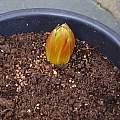 Fritillaria imperialis 'Garland Star', David Pilling