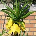 Fritillaria imperialis 'Lutea Maxima', Jamie Vande