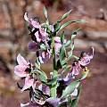 Fritillaria karelinii, John Lonsdale