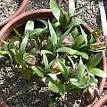 Fritillaria kotschyana, Jane McGary