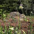 Fritillaria liliacea, Tilden Botanic Garden, Nhu Nguyen