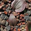 Fritillaria ojaiensis, Tilden Botanic Garden, Nhu Nguyen