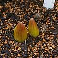Fritillaria  persica bulb, David Pilling