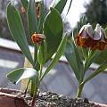 Fritillaria pinardii, Jane McGary