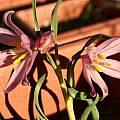 Fritillaria pluriflora, Bob Werra