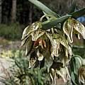 Fritillaria purdyi, Tilden Botanic Garden, Nhu Nguyen