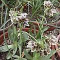 Fritillaria purdyi, Jane McGary