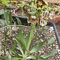 Fritillaria hybrids, Jane McGary