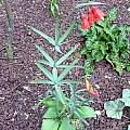 Fritillaria recurva, John Lonsdale
