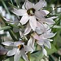Fritillaria stenanthera, John Lonsdale