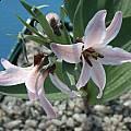 Fritillaria stenanthera 'Kyrgystan', John Lonsdale