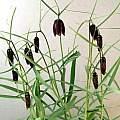 Fritillaria tenella (montana), Ian Young