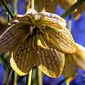 Fritillaria thunbergii, John Lonsdale