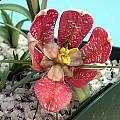 Fritillaria walujewii, John Lonsdale