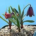 Fritillaria zagrica, John Lonsdale