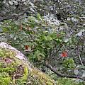 Fuchsia fulgens, Dennis Szeszko
