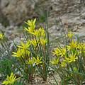 Gagea chlorantha, Oron Peri