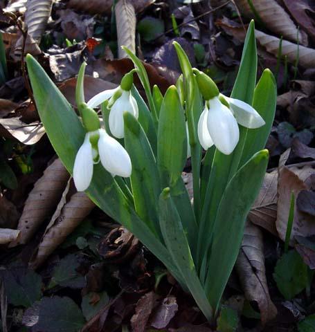 Pacific Bulb Society Galanthus