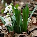 Galanthus alpinus var. alpinus, photo by David Kikodze
