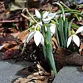 Galanthus elwesii, photo by Arnold Trachtenberg