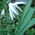 Galanthus elwesii (poculiform), Diane Whitehead