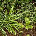 Galanthus leaves, 22nd March 2014, David Pilling