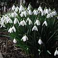 Galanthus nivalis, David Pilling