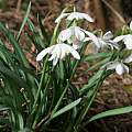 Galanthus nivalis 'Flore Pleno', David Pilling