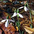 Galanthus reginae-olgae, John Lonsdale