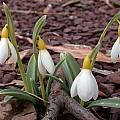 Galanthus nivalis 'Sandersii', John Lonsdale