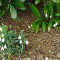 Galanthus woronowii (right) with G. nivalis (left), David Pilling