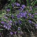 Geissorhiza aspera, Lion's Head, Mary Sue Ittner