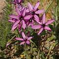 Geissorhiza aspera, Malmesbury, Rod Saunders