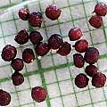 Geissorhiza aspera, seed, M. Gastil-Buhl