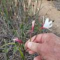 Geissorhiza brevituba, Riaan van der Walt, iNaturalist, CC BY-NC
