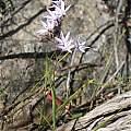 Geissorhiza divaricata, Oorlogskloof Nature Reserve, Andrew Harvie