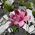 Geissorhiza grandiflora, Bainskloof, Rachel Saunders