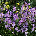 Geissorhiza inaequalis, Nieuwoudtville, Mary Sue Ittner