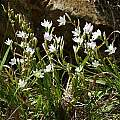 Geissorhiza inconspicua, Tradouws Pass, Andrew Harvie
