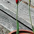 Geissorhiza inflexa bud, Mary Sue Ittner