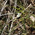Geissorhiza juncea, Table Mountain, Andrew Harvie