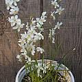 Geissorhiza leopoldtii, Mary Sue Ittner