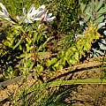 Geissorhiza longifolia, Nick Helme, iNaturalist, CC BY-SA