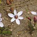Geissorhiza ovata, Paarl, Bob Rutemoeller