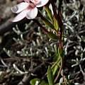 Geissorhiza ovata, Michael Mace