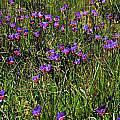 Geissorhiza radians, Mary Sue Ittner