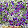 Geissorhiza radians, Bill Dijk