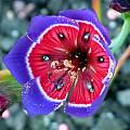 Geissorhiza radians, Sheila Burrow