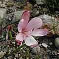 Geissorhiza schinzii, Boskloof, Cameron McMaster