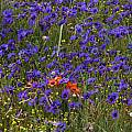 Geissorhiza splendidissima, Nieuwoudtville, Bob Rutemoeller